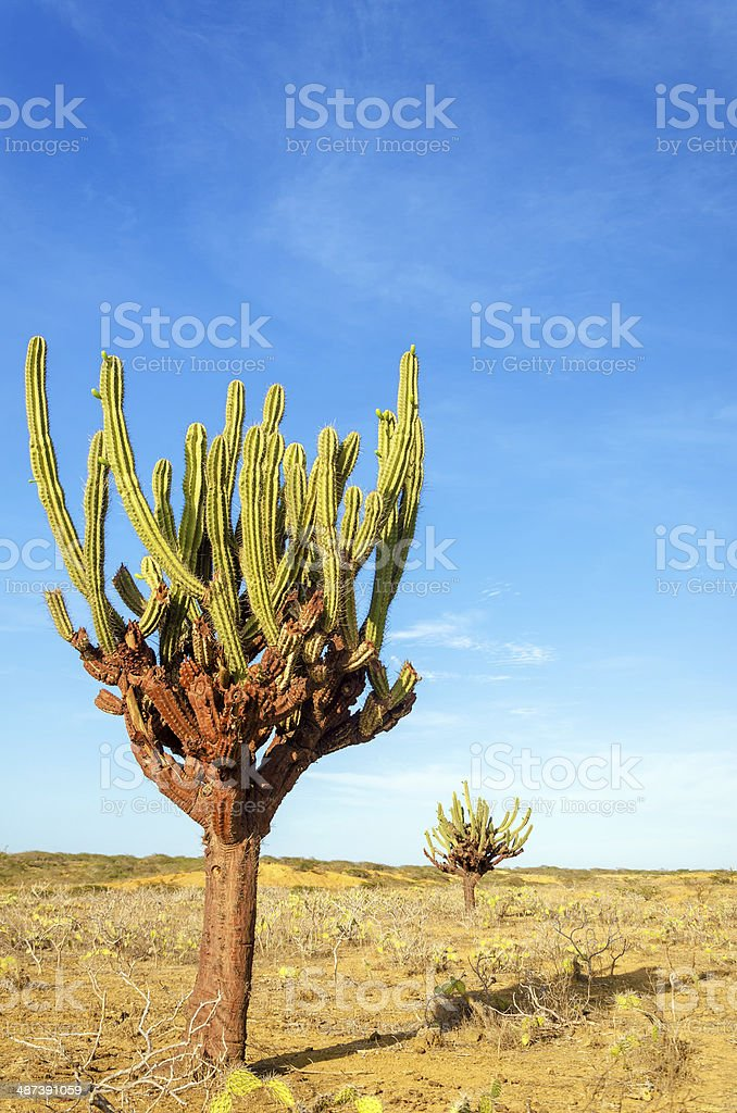 Two Cactuses stock photo