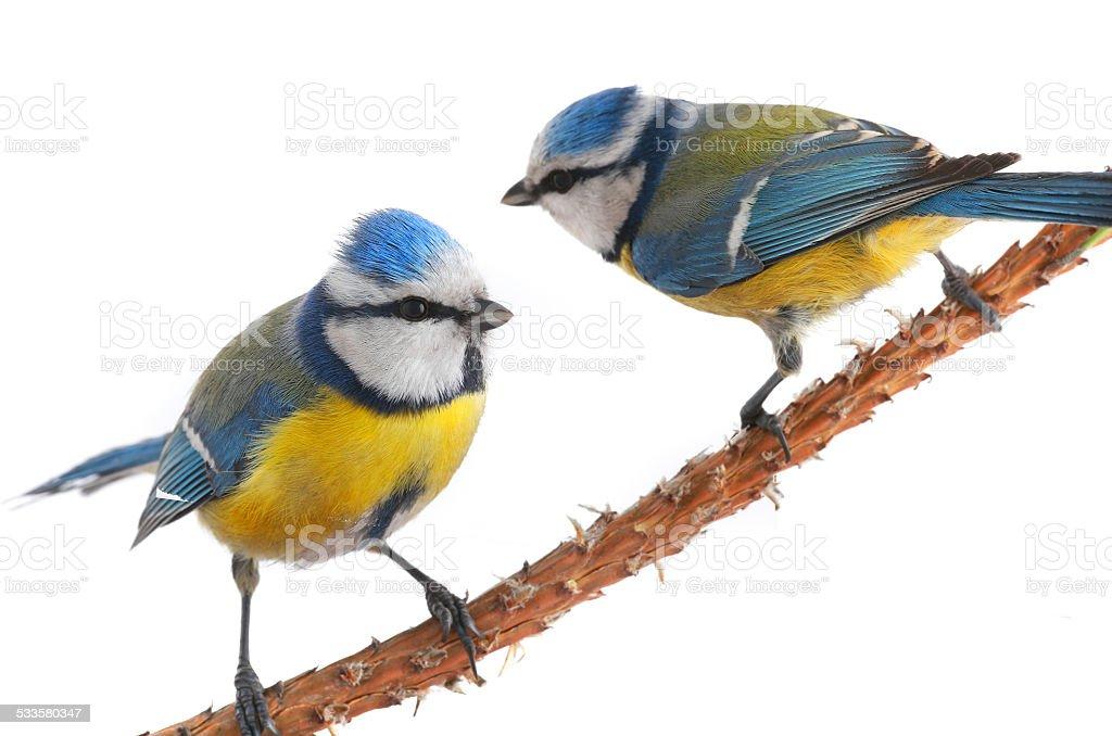 two caeruleus titmouse stock photo