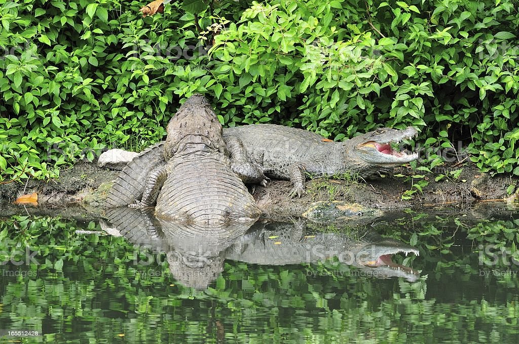 Two caimans stock photo