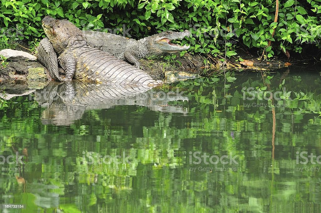 Two caimans resting stock photo