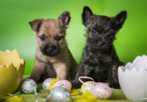 Two Cairn Terrier puppies and colorful Easter eggs stock photo