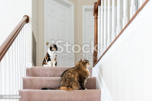istock Two calico cats, maine coon sitting on carpet floor on top of second story level of house looking up by railing stairs, steps, staircase playing 1052339998