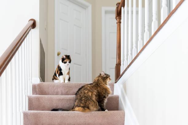 zwei calico-katzen, maine coon sitzen auf teppich boden auf zweiten story-level des hauses durch geländer treppen, stufen, treppe spielen nachschlagen - revierverhalten stock-fotos und bilder