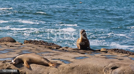 Two California Sea Lions in La Jolla Cove, La Jolla, California, USA one laying on a rock in the sun and the other emerging from the ocean