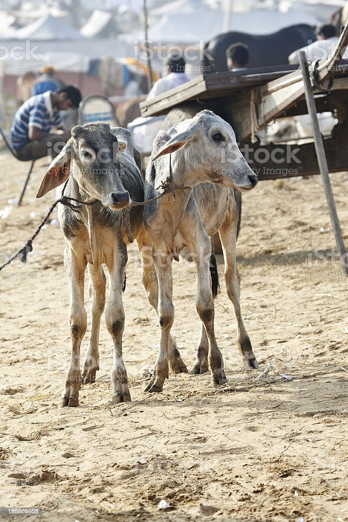 Two calves tied together at the Pushkar Camel Fair royalty-free stock photo