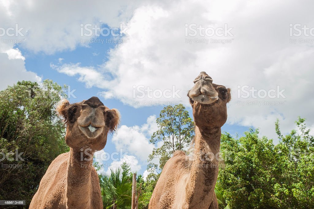 Two camels in a zoo stock photo