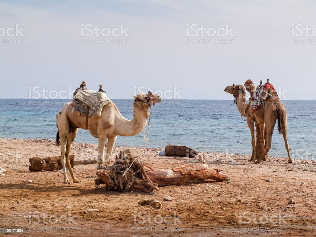 Two camels on the beach in Dahab, Egypt stock photo