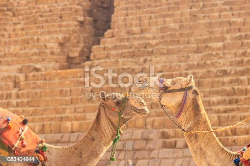 883177796 istock photo Two camels on the Giza pyramid background 1083404644
