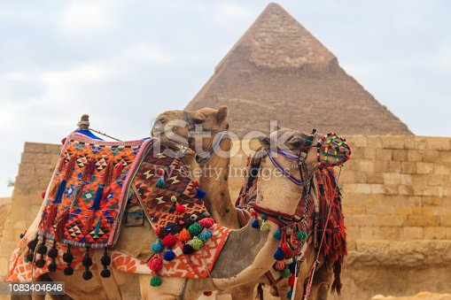 883177796 istock photo Two camels on the Giza pyramid background 1083404646
