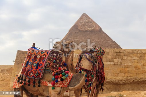 883177796 istock photo Two camels on the Giza pyramid background 1131129642