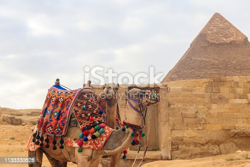 883177796 istock photo Two camels on the Giza pyramid background 1133330528