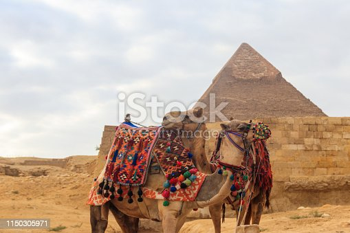 883177796 istock photo Two camels on the Giza pyramid background 1150305971