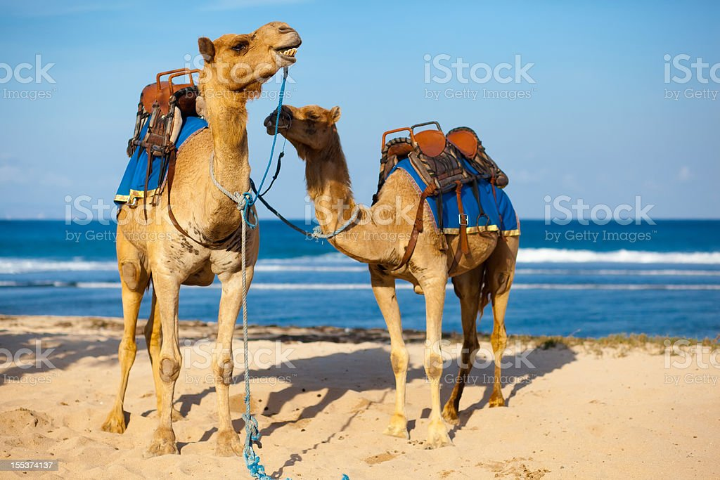 Two camels ready to be ride on the beach royalty-free stock photo