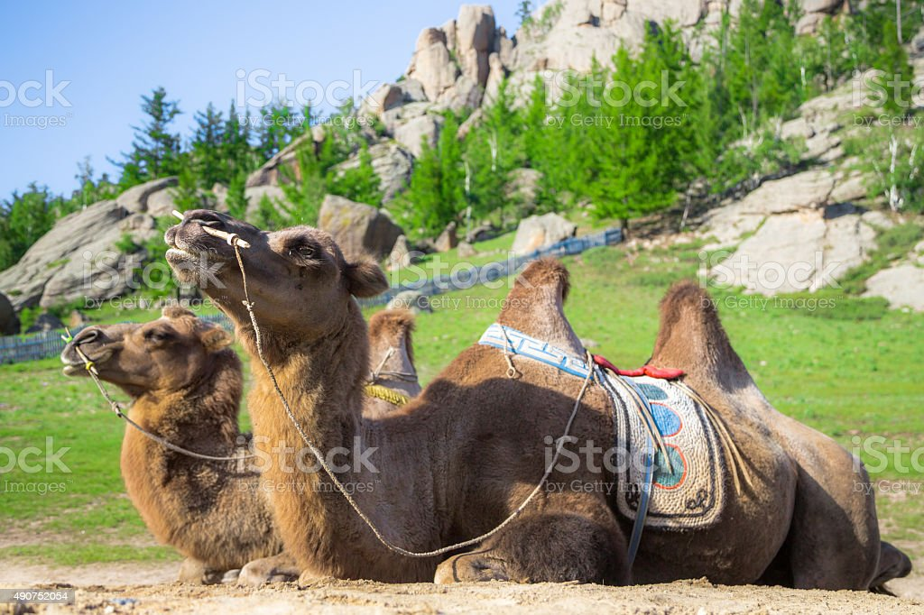 Two camels relaxing stock photo