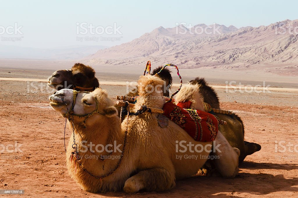 Two camels sitting in desert enjoying the sun stock photo