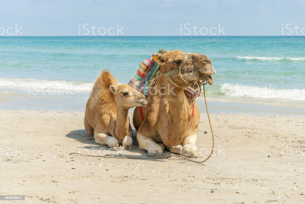 Two Camels Sitting on the Beach stock photo