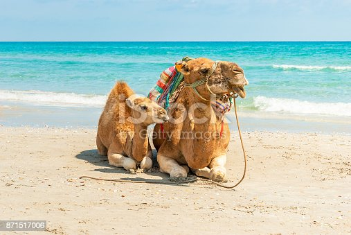 Two Camels Sitting on the Beach during a Tropical Day