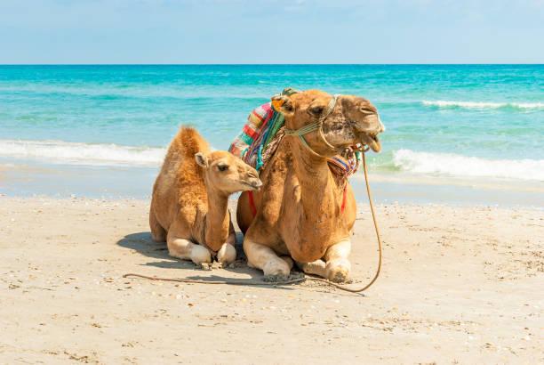 zwei kamele sitzt am strand - urlaub in tunesien stock-fotos und bilder