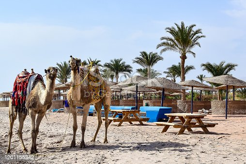 istock Two camels stand on the beach. 1201155342