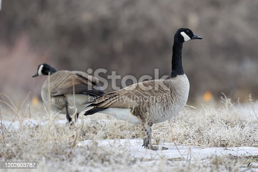Waterfowl in Colorado. Canade Geese Standing in a Field of Snow