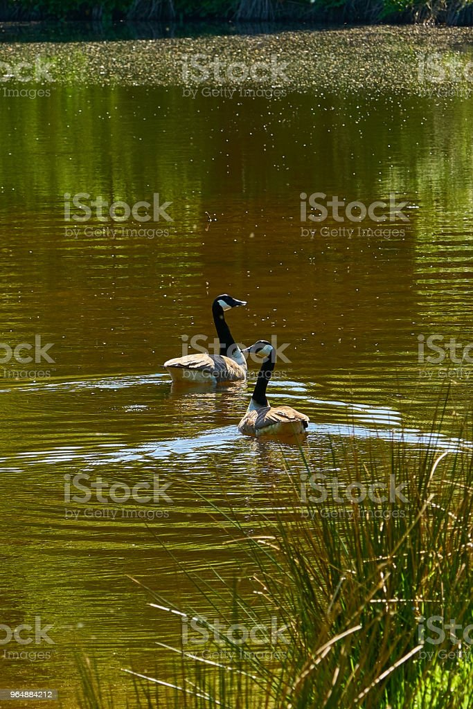 Two Canada Geese on the Water royalty-free stock photo
