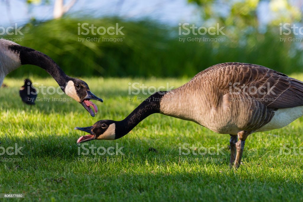 Two Canada goose (Branta canadensis) talking to each other with their tongues sticking out on a spring day stock photo