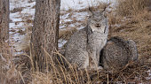 Two Canada Lynx, A Pair In The Woods. Image can be utilized editorially or commercially.