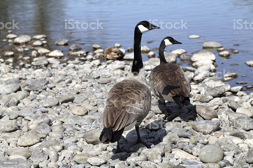 two canadian geese on rocky river bank royalty-free stock photo