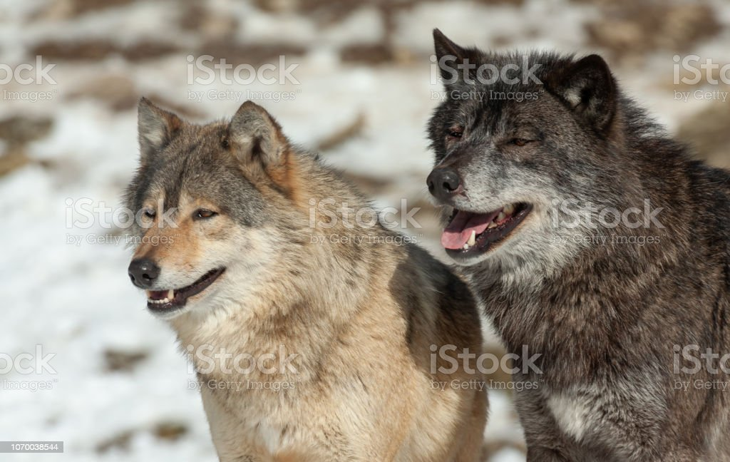 Two Canadian Timberwolves Stock Photo Download Image Now Istock