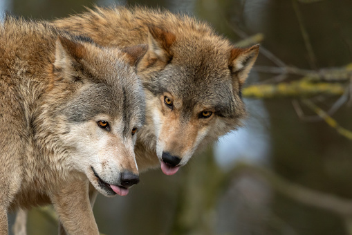 Close shot of two canadian timberwolves sticking out their tongues.