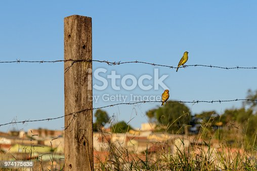 Two canaries on barbed wire, Valença (RJ), Brazil.