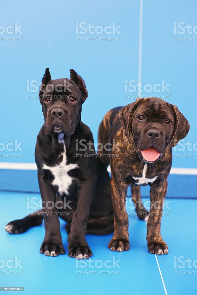 Two Cane Corso Puppies Sitting On Blue Ping Pong Table Stock Photo