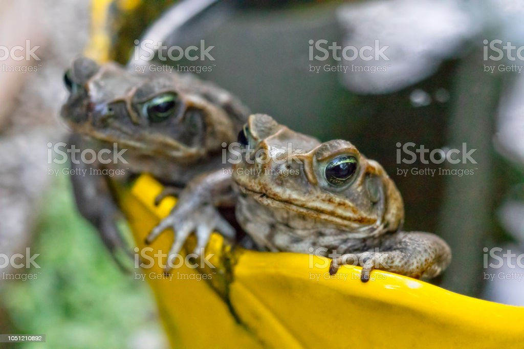 Two cane toads laying eggs in a flower pot full of water - Bufo marinus stock photo