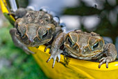 Two cane toads laying eggs in a flower pot full of water - Bufo marinus