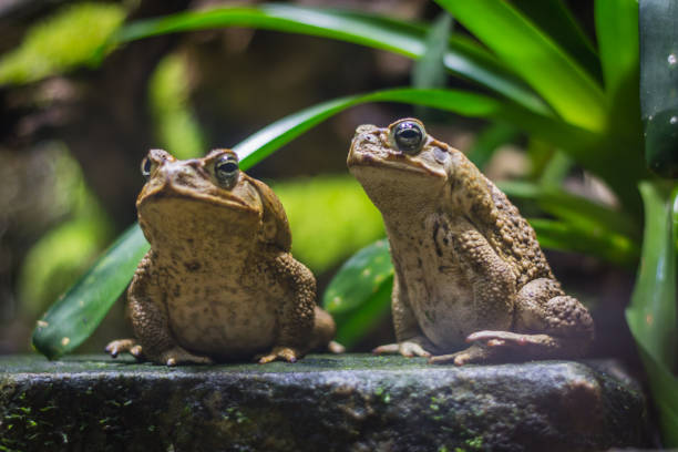 Two cane toads (giant neotropical toads) standing in aquarium in Berlin (Germany) – zdjęcie