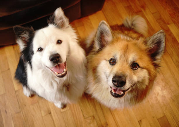 Two Canine Dog Companions Look at the Camera stock photo