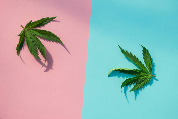Two cannabis leaves close up. Two cannabis leaves close up. thc stock pictures, royalty-free photos & images