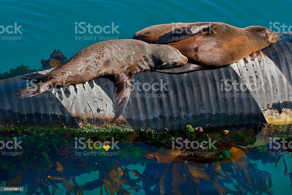 Two cape fur seals stock photo