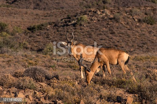 Two Cape Hartebeest (Sigmoceros Lichtensteinii) grazing in the early morning on a sunny day in the arid Karoo National Park, South Africa