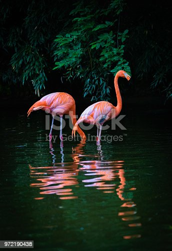 Two beautiful Caribbean Flamingos with reflection in the water