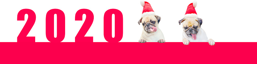 Two Cartoon Little Pug Dog in a red christmas hat with number 2020. Cute cartoon christmas animal dog. Christmas and New Year Banner. (Happy New Year 2020 Concept)
