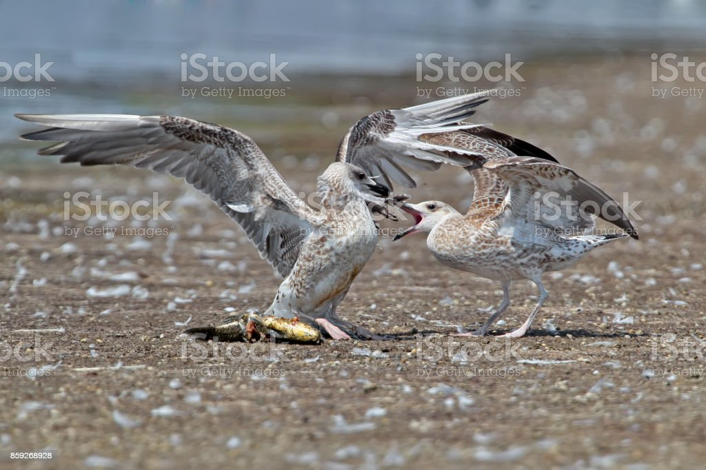 Two Caspian gull ( Larus cachinnans) fighting for fisn on the shore stock photo
