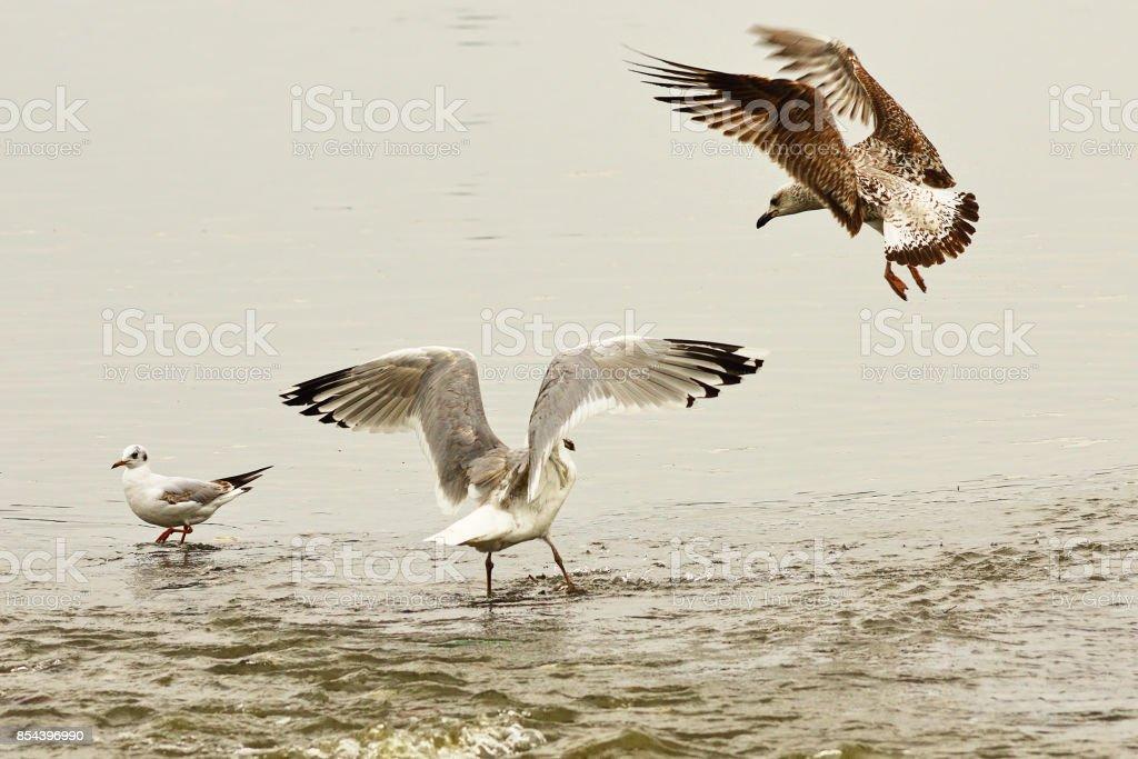 two caspian gulls fighting for fishing spot in shallow water stock photo