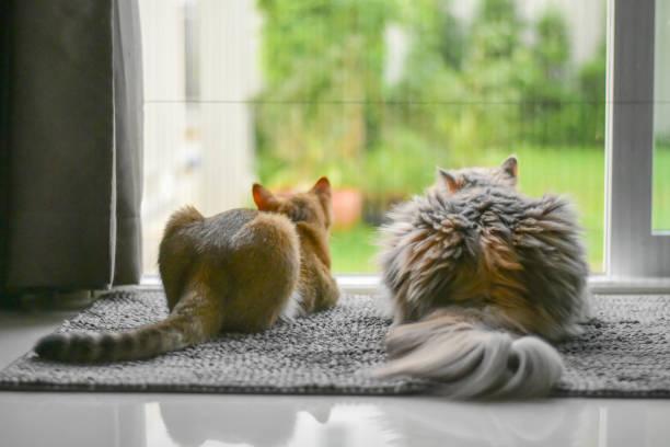Two cat looking the garden through the door stock photo