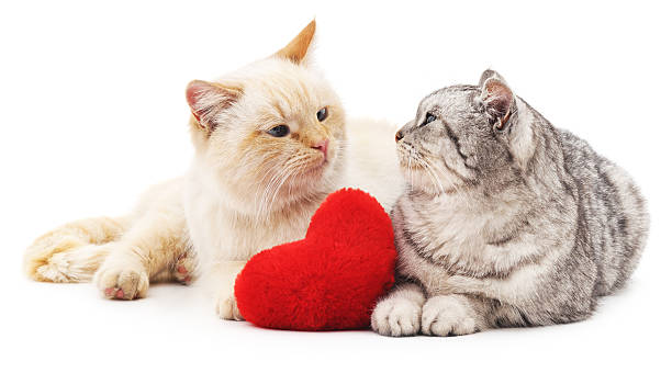 Two cats and red heart. Two cats and red heart isolated on white background. cat valentine stock pictures, royalty-free photos & images