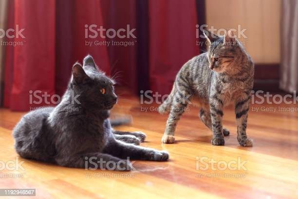Two cats communicate or play at home one is of tabby color standing picture id1192946567?b=1&k=6&m=1192946567&s=612x612&h=ebbgf58lxrtff97 wsvki4avntrs04pfg3svu1gfija=