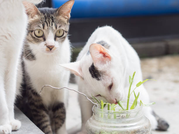 Two Cats Eating Grass stock photo