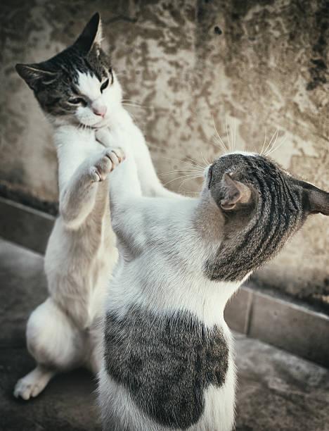Two cats fighting or playing on the street picture id500481402?b=1&k=6&m=500481402&s=612x612&w=0&h=wg4nvsdftvyebtyhok0wlrxnhebeczht  w40pkkdzw=