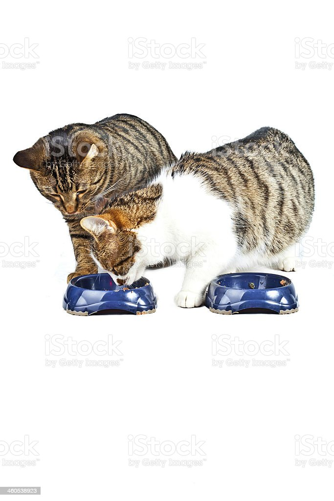 two cats have their meal stock photo