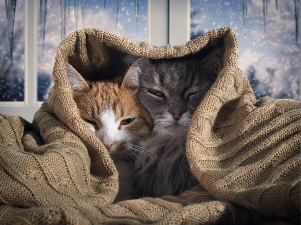 Two cats hide under the blanket. Outside, the winter snow. The concept of home comfort, security, warmth stock photo